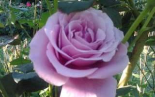 Голубая роза блю парфюм особенности выращивания