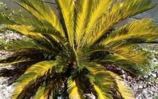 Что делать если у цикаса желтеют листья?