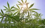 Польза марихуаны медицинское применение растения