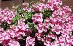 Цветок диасция посадка и уход в домашних условиях