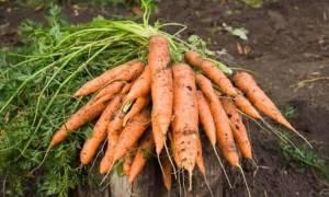 Через сколько всходит морковь после посева что делать если морковь не взошла