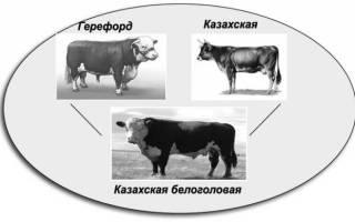 Кахахская белоголовая порода коров