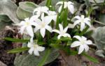 Выращиваем хионодоксу в саду