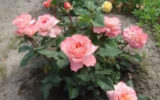 Роза августа луиза описание цветка посадка и уход фото
