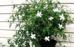 Что любит комнатный жасмин советы по уходу за растением в домашних условиях