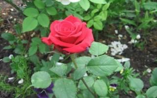 Как вырастить розы софи лорен лучшие советы
