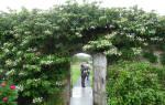 Выращивание гортензии черешковой посадка и уход в саду
