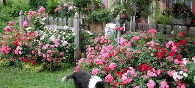 Как удобрять розы весной летом и осенью  расскрываем секреты