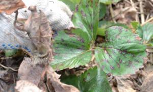 Как правильно ухаживать за клубникой во время цветения лучшие советы