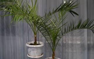 Как бороться с вредителями и болезнями финиковой пальмы