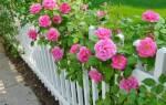 Как правильно выращивать кустовые розы