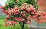 Муссенда  красивый и оригинальный цветок