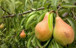 Лучшие советы по уходу и посадке груши сорта отрадненская