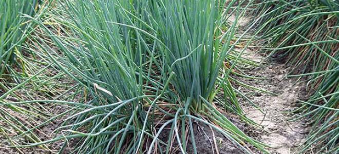 Выращиваем лукбатун на своем огороде особенности посадки и ухода