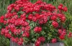 Описание и характеристика популярных сортов парковых роз