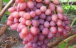 Виноград кишмиш лучистый описание и выращивание