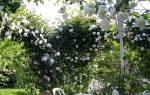 Правильный уход за плетистой розой
