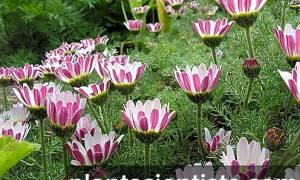 12 цветов похожих на ромашку фото и названия