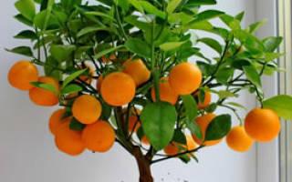 Апельсиновое домашнее дерево выращивание в горшке