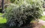 Выращивание спиреи белой в саду посадка и уход за растением