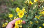Все что надо знать для выращивания лапчатки кустарниковой
