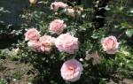 Описание розы абрахам дерби посадка и уход