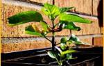 Что делать когда желтеют и опадают листья у рассады перца