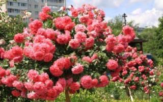 Сорт плетистой розы розариум ютерсен