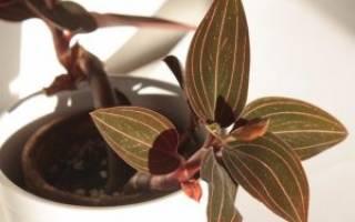 Цветок лудизия как ухаживать за драгоценной орхидеей