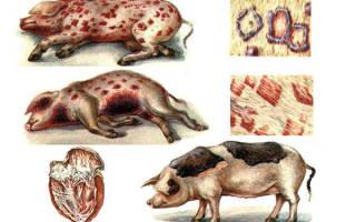 Рожа у свиней описание симптомы и лечение болезни