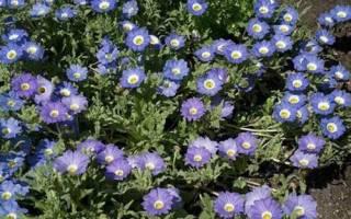 Как посадить и вырастить цветок нолана