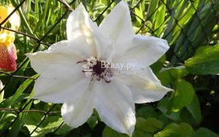 Клематисы в сибири выбор сорта посадка и уход за растением