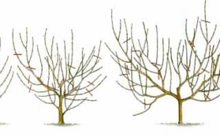 Обрезка персика  кропотливый и обязательный процесс