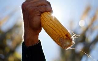 Сроки и способы уборки кукурузы