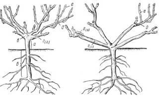 Схема обрезки винограда осенью – интересная и не сложная процедура