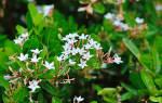 Уход за экзотическим плодовым растением кариссой