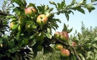 Яблоки богатырь в чем особенности и преимущества сорта?