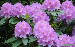 Подборка кустарников цветущих весной с описанием и фото
