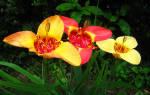 Выращивание и уход за цветком тигридия