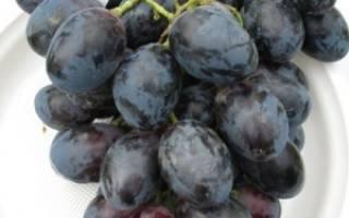 Сорт винограда фурор крупные ягоды и морозостойкость черного винограда