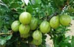 Сорт крыжовника берилл характеристика секреты успешного выращивания