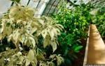 Фикус бенджамина уход за растением в домашних условиях