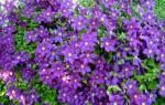 Особенности ухода за клематисами все о подкормке и удобрении цветка