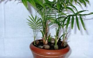 Правильный уход за домашней пальмой общие рекомендации