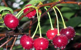 Сорт вишни владимирская