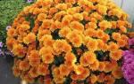 Виды и сорта садовых хризантем как выбрать цветок для сада