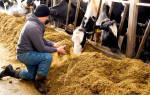 Как правильно кормить телят для быстрого роста