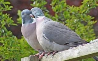 Как узнать пол голубя различные методы определения