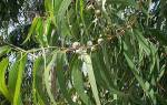 Эвкалипт описание фото достоинства дерева