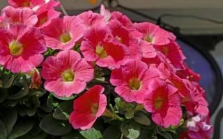Секреты удобрения петуний чем подкормить растение для обильного цветения
